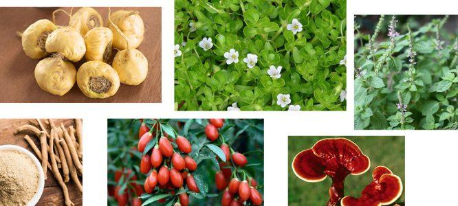 Adaptogene rastline vrnejo izgubljeno ravnovesje