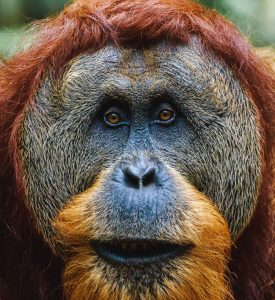palm_oil_orangutan